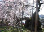 2008.4.9山高神代桜036.JPG